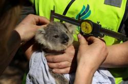Počty Koal v Austrálii prudce klesají. Při současném sestupném trendu by do roku 2040 mohly zmizet z volné přírody