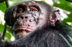 Jeden z šimpanzů nakažených leprou