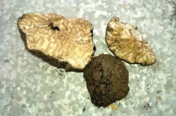 Lanýž zimní nalezený v Botanické zahradě v Brně