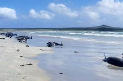 Kulohlavci uvízlí u Chathamských ostrovů
