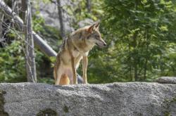 Ilustrační foto - Vlčí výběh v Srní v Národním parku Šumava