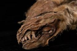 Mumie vlčího štěněte