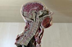 Anatomický model