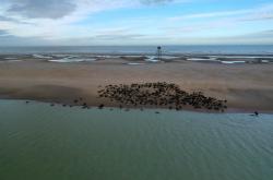 Skupina tuleňů odpočívá na pláži poblíž majáku Phare de Walde u města Calais v severní Francii
