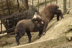 Do brněnské zoo se narodila mláďata takinů