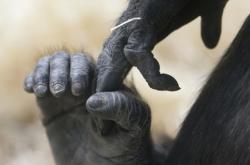 Smutná zpráva z pražské zoologické zahrady. Uhynula gorilí samice Bikira