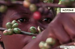 Zapomenutá rostlina je nadějí pro kávu