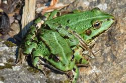Skokan zelený