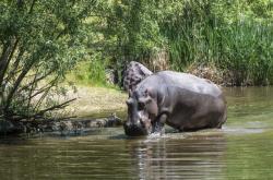 Zoo ve Dvoře Králové otevřela Jezero hrochů