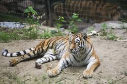 Samice tygra ussurijského Milashi ve výběhu plzeňské zoo