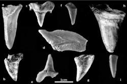 Zuby pravěkých žraloků nalezených v Izraeli