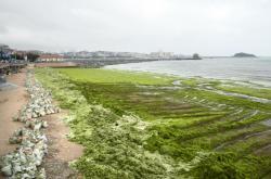 Turistický ruch na pobřeží čínskéko města Čching-tao komplikuje masa mořských řas, které ve velkém znečišťují místní pláže. Na její odstranění musejí používat úřady těžkou techniku