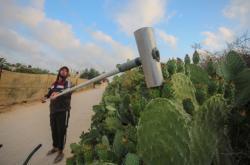 Poslední sklizeň kaktusů v oblasti jižní Gazy kolem města Chán Júnis