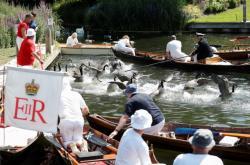 Královští úředníci každoročně sčítají labutě na londýnském úseku řeky Temže. Hlavním cílem jejich činnosti je ochrana ptactva a zjišťování stavu populace