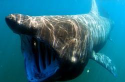 Krmící se žralok veliký