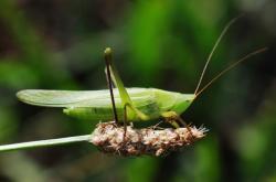 Samec kobylky kuželohlavé