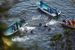 Lov delfínu v zátoce v Taidži