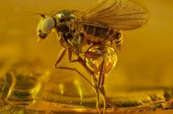 Vítězové soutěže Nikon Small World 2021 - 40 milionů let starý komár v jantaru