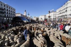 Centrem hlavního města Španělska prošlo více než tisíc ovcí a stovka koz. Šlo o každoroční přesun hospodářských zvířatymezi letním a zimnímstanovištěm