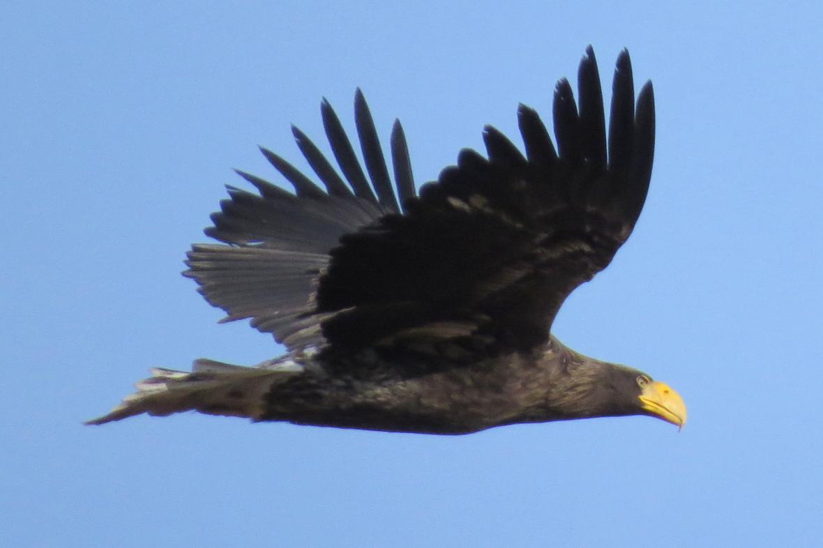 U Přerova viděli orla kamčatského