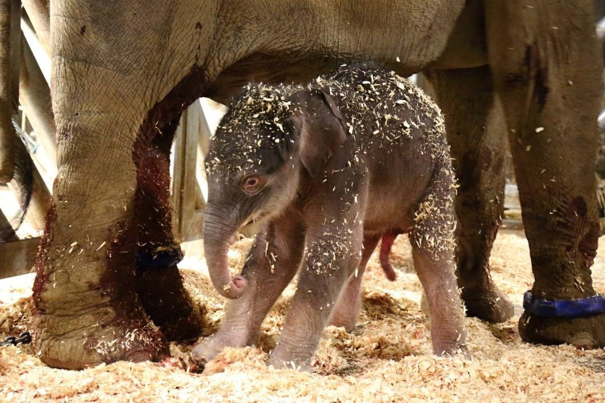 První slůně ve více než osmdesátileté historii chovu slon Zoo Praha