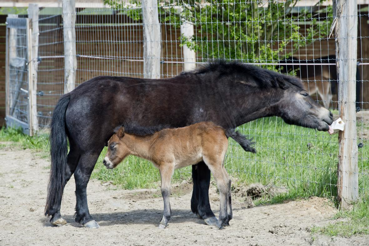 Hříbě divokého koně