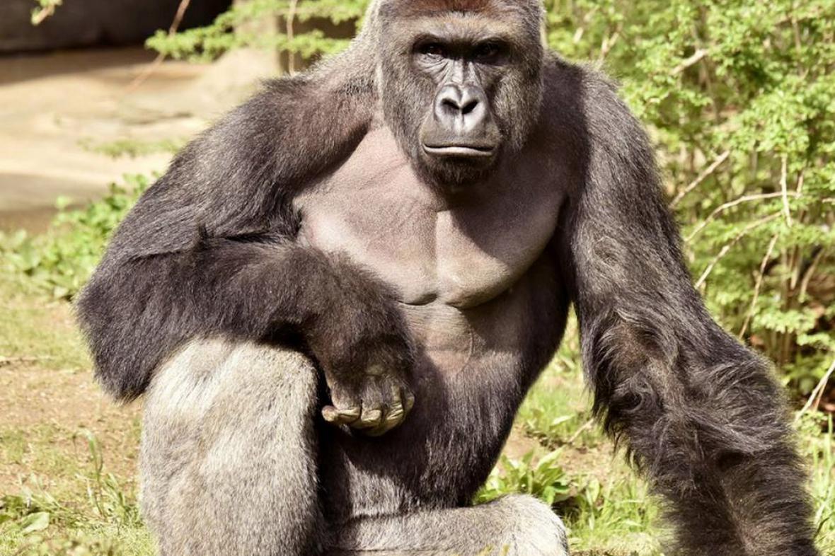 Gorilí samec Harambe