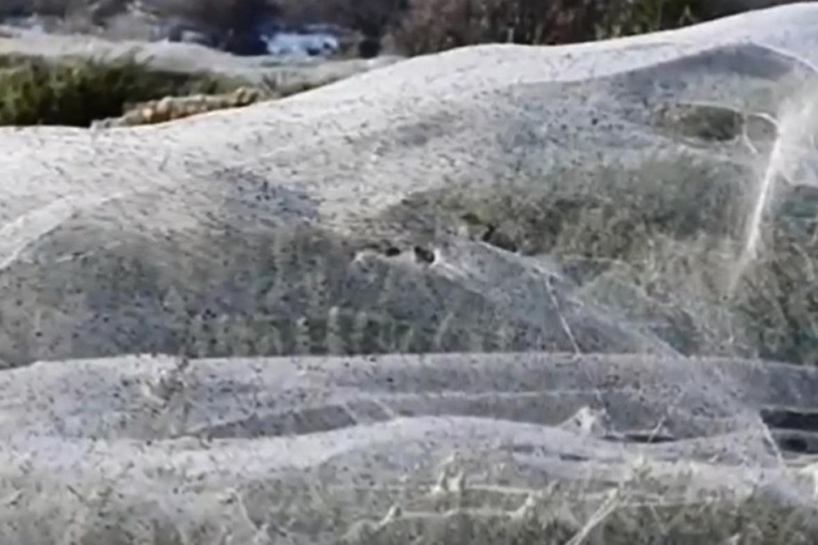Pavoučí sítě v Tasmánii