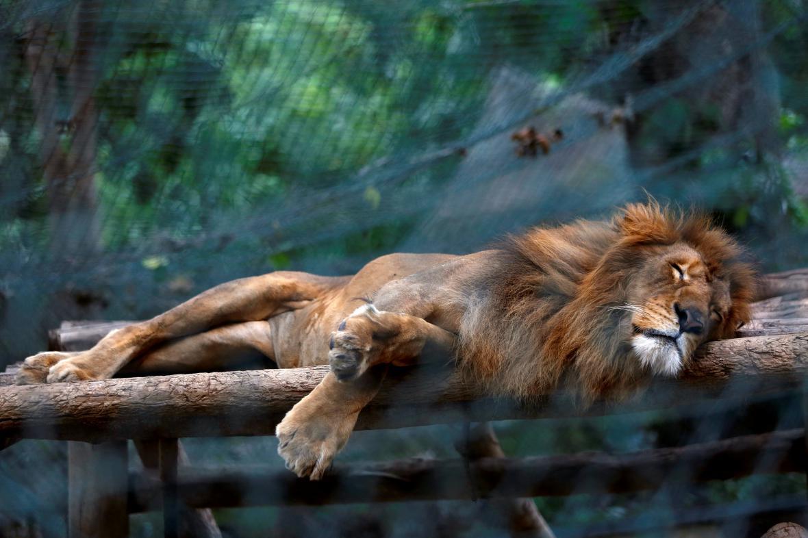 Hladovějící lev ve venezuelské zoo