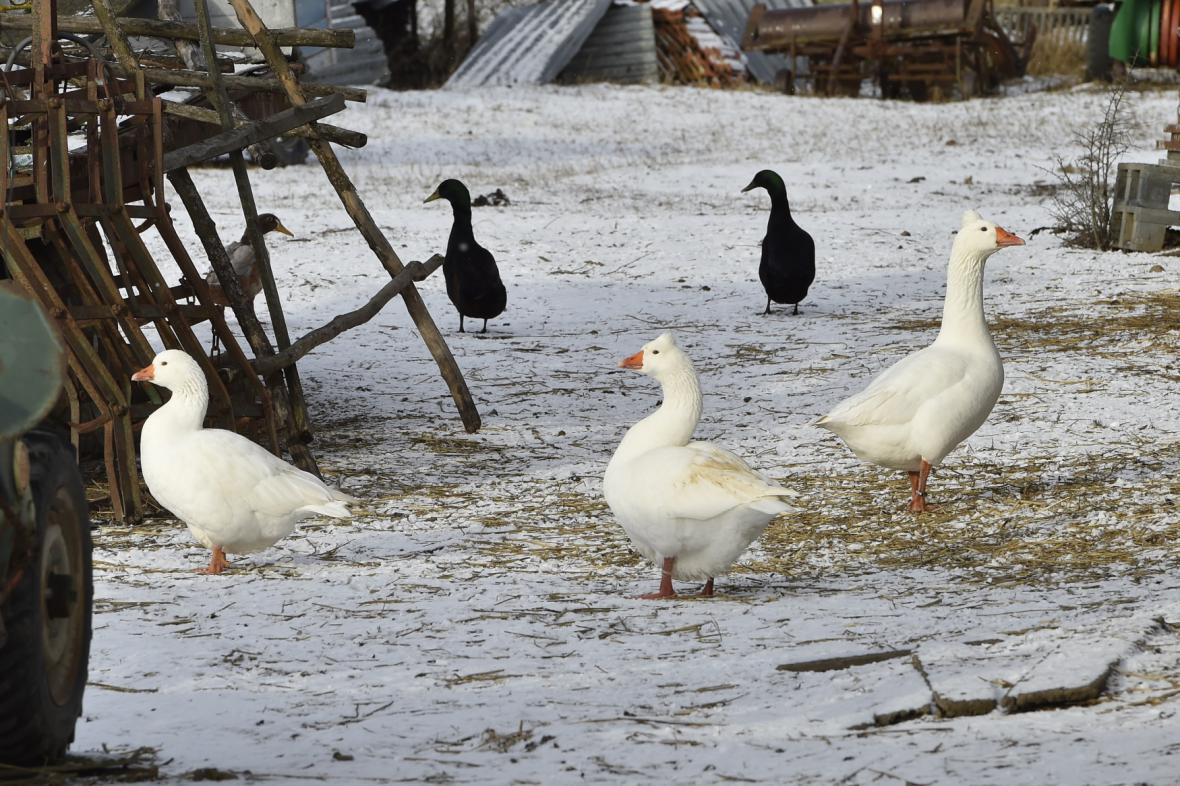V Rakšicích, místní části Moravského Krumlova na Znojemsku, čeká utracení několik desítek kusů drůbeže