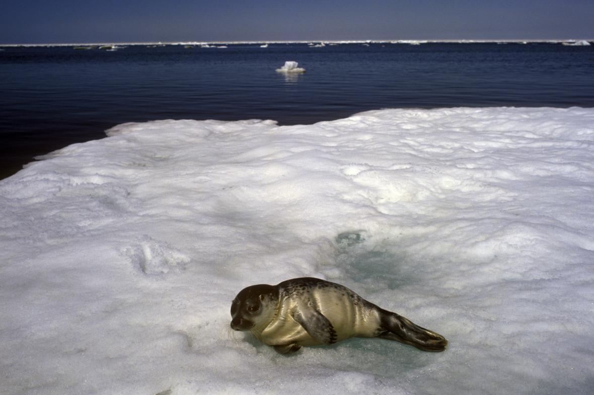 Tuleň kroužkovaný