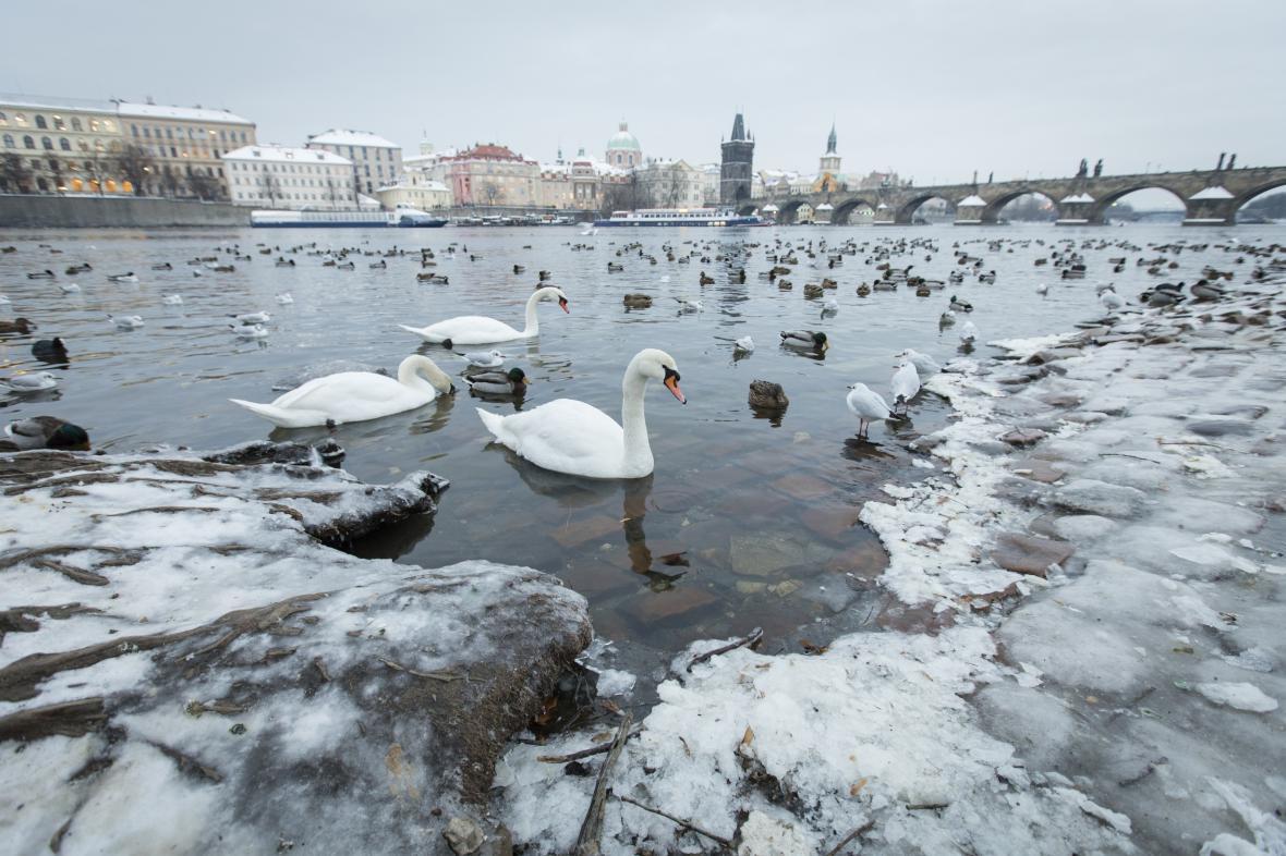 Labutě v Praze