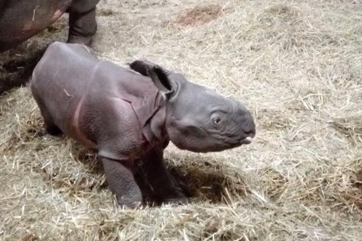 Mládě indického nosorožce