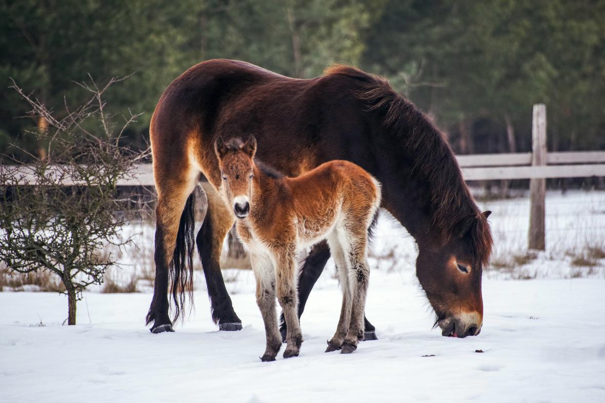 Divokým koním v bývalém vojenském prostoru Milovice se narodila první letošní hříbata