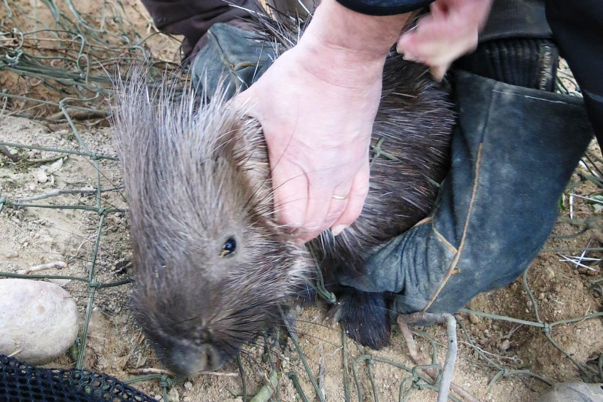 Z plzeňské zoo utekl dikobraz, našli ho po deseti dnech