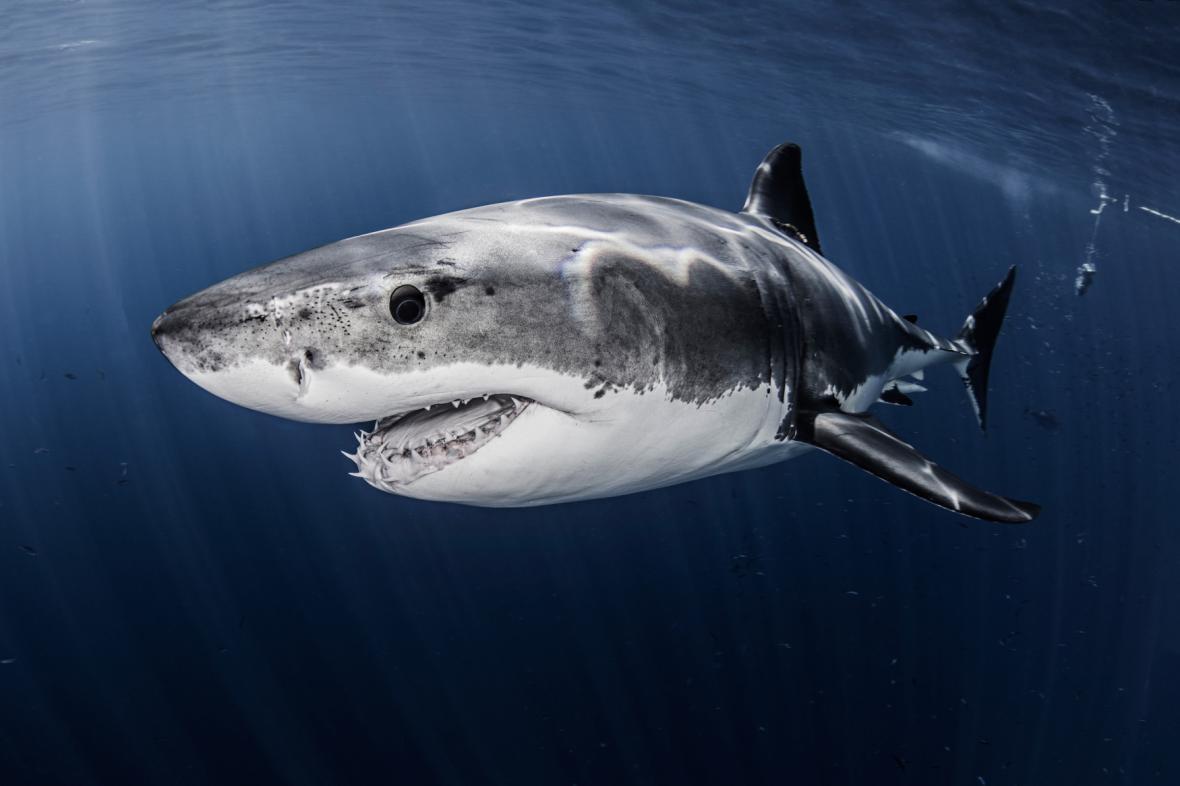 Žralok velký bílý