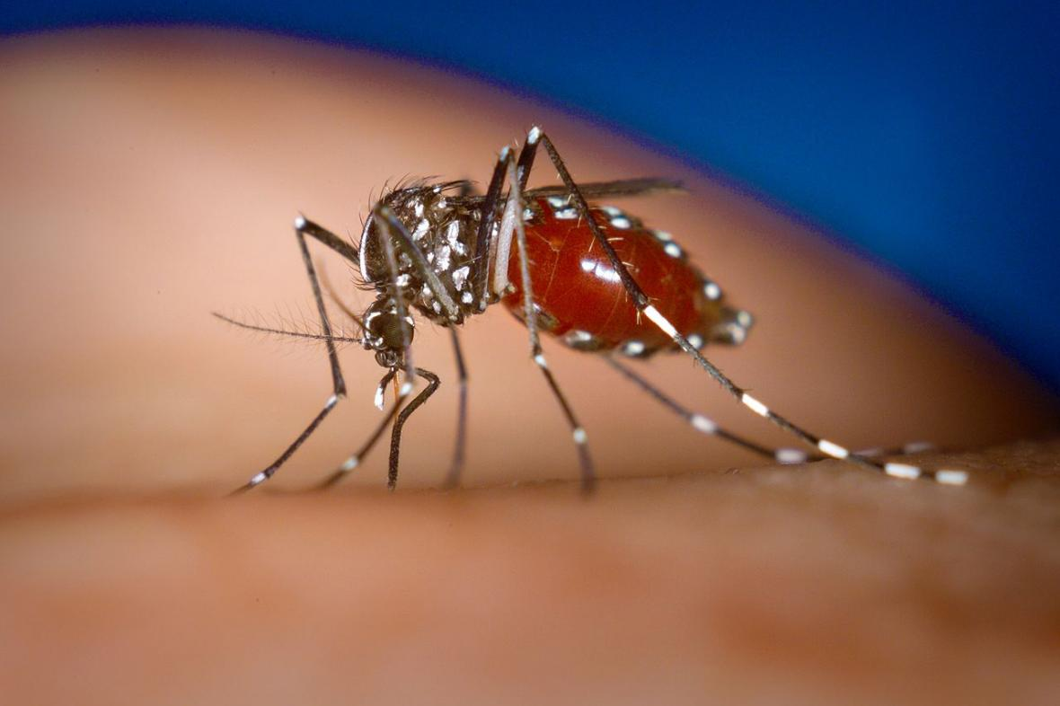 Komár tygrovaný - přenašeč viru chikungunya