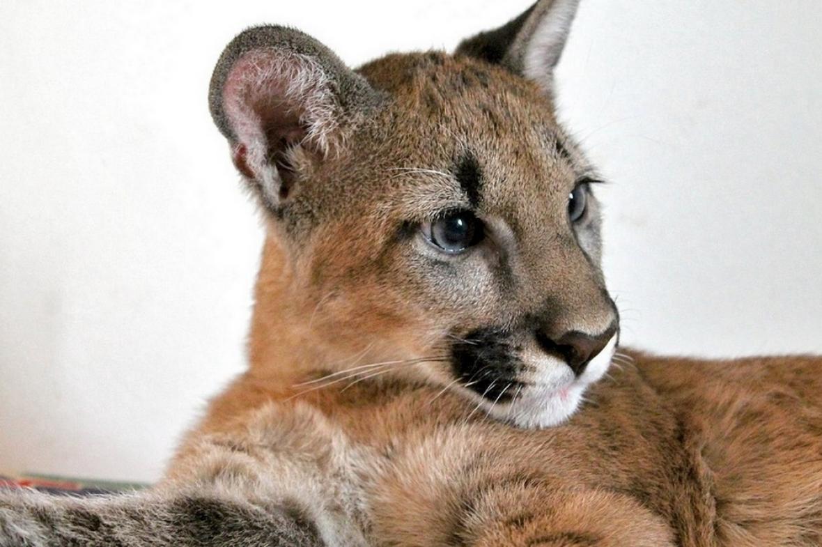 Puma americká Izzy