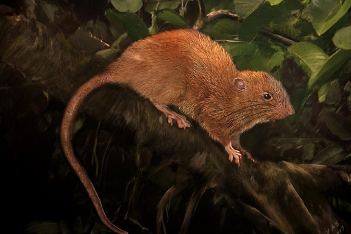 Nově objevená krysa živící se zřejmě kokosovými ořechy