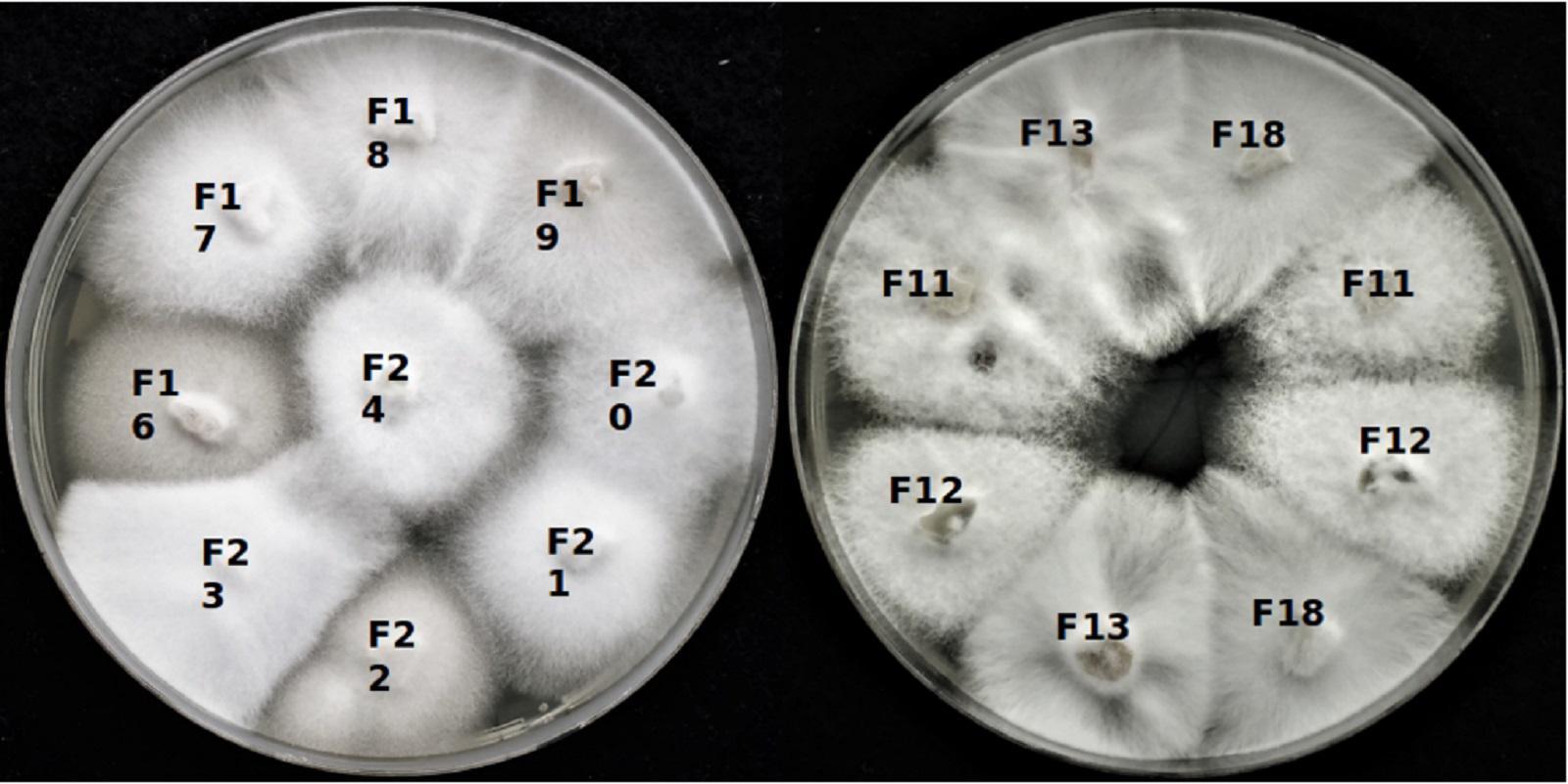 Kultury S. alkalinus pěstované v laboratoři