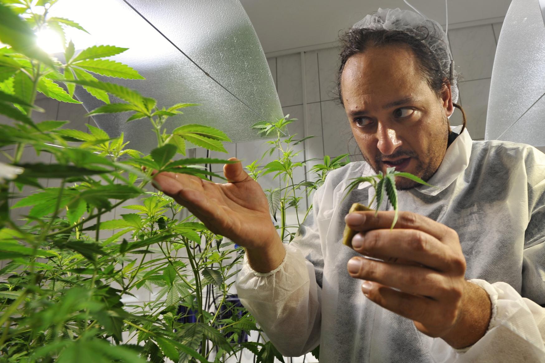 Michal Otipka ve firmě Meclovská zemědělská, která se věnuje výzkumu pěstování léčebného konopí
