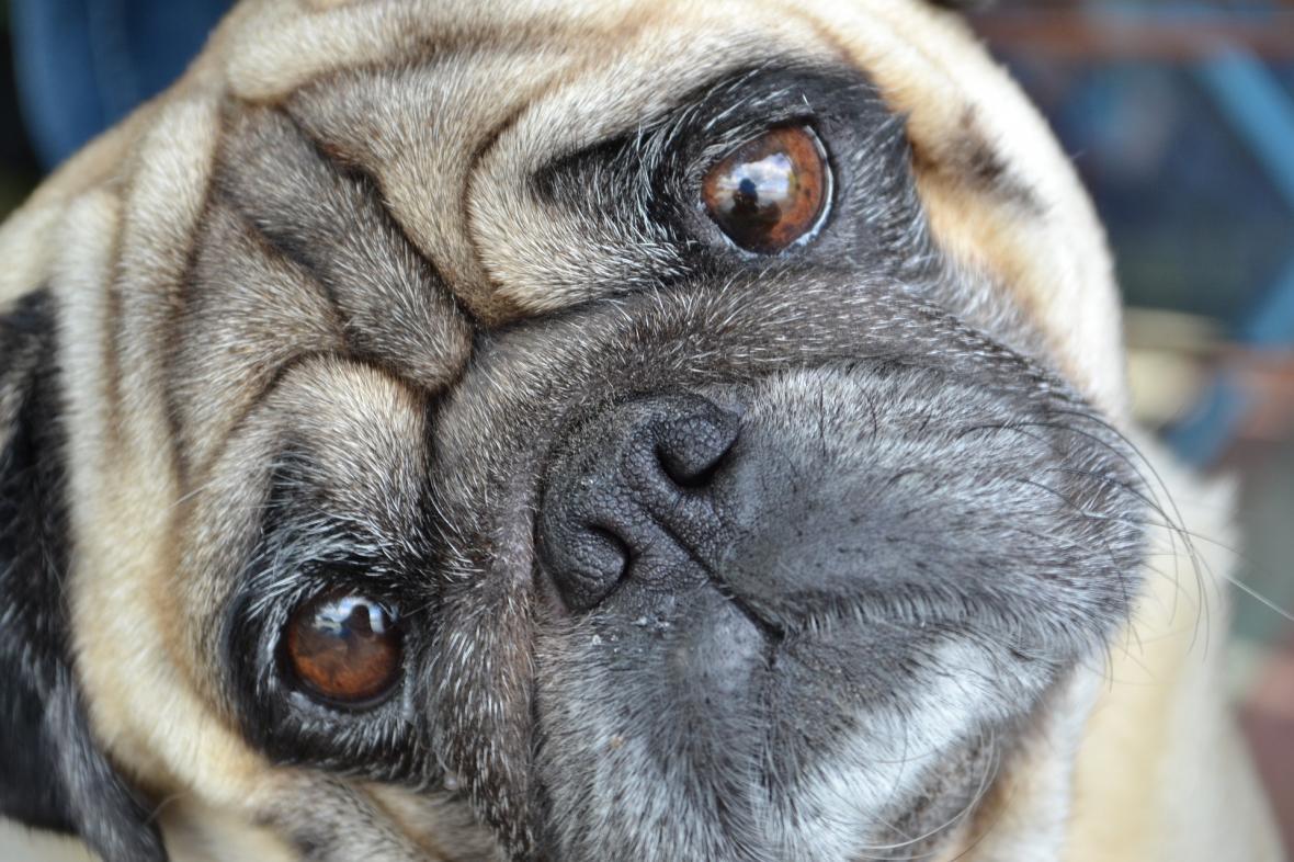 Typická ukázka brachycefalického psa