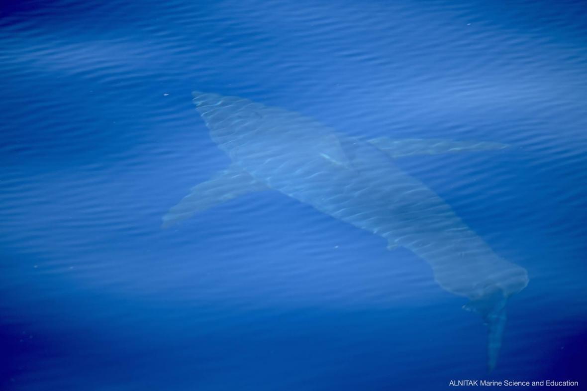 Žralok u Baleárských ostrovů