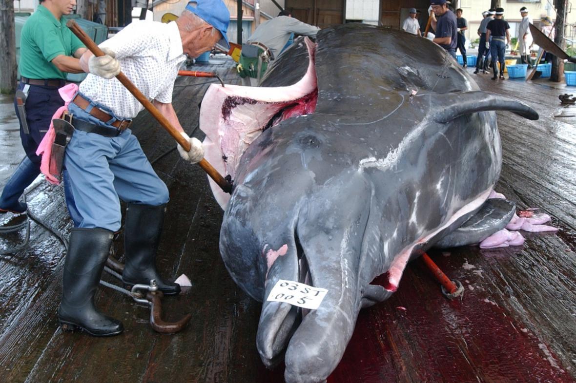 Lov velkých velryb je stále legální v Japonsku