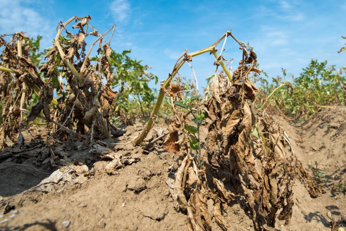 Nebývalé vedro pustoší v Německu i úrodu brambor
