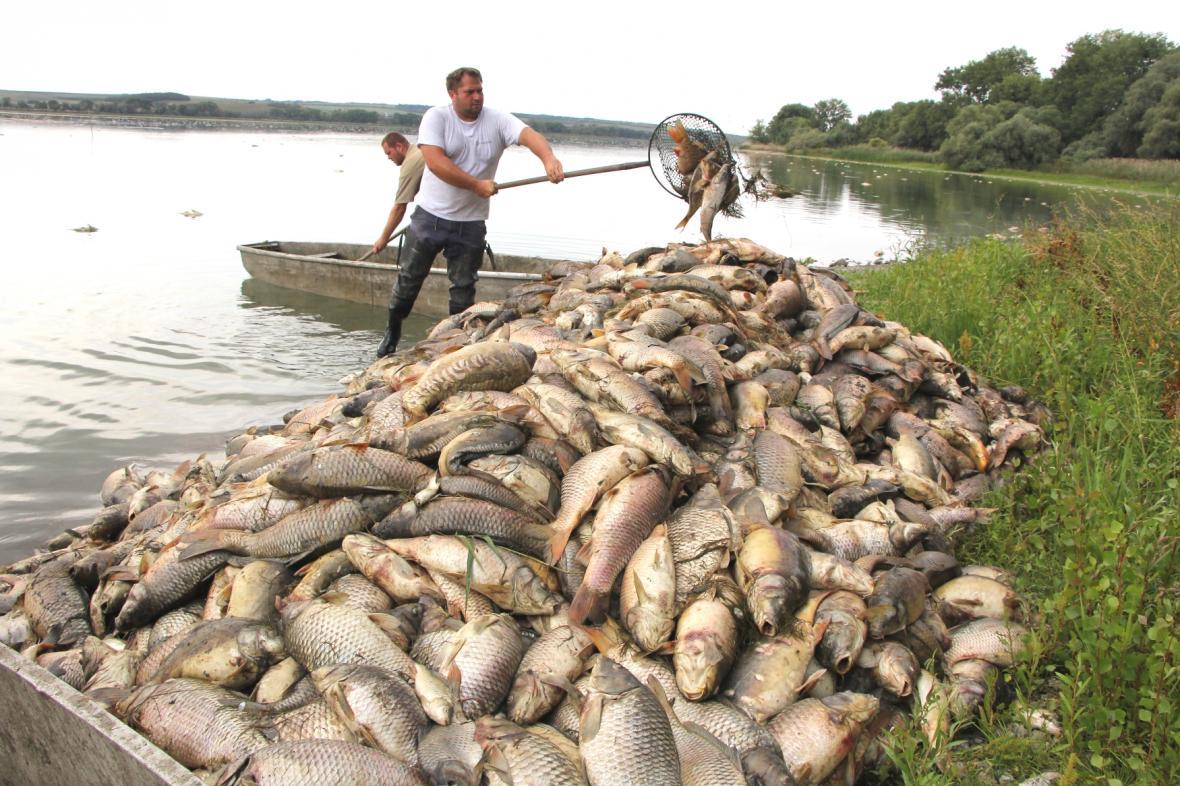 Pracovníci hodonínského rybářství odklízejí uhynulé ryby z rybníku Nesyt