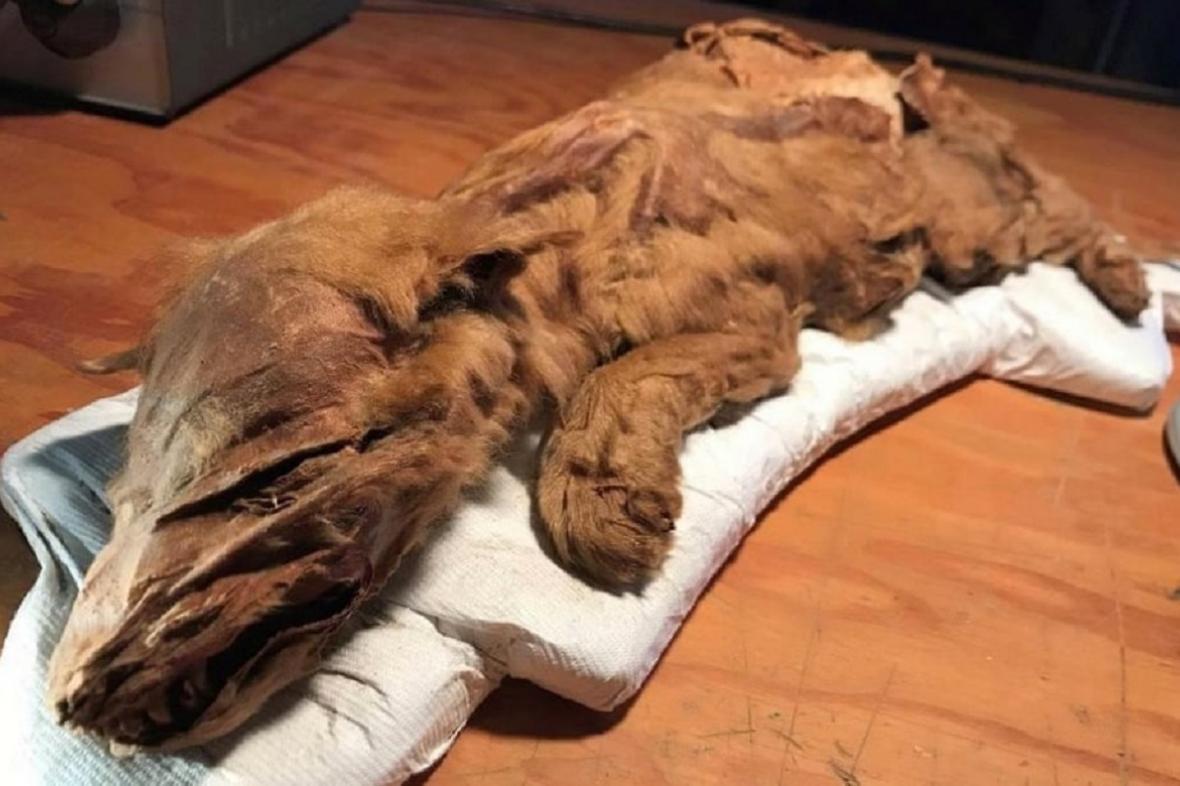 Mumifikované mládě vlka z doby ledové