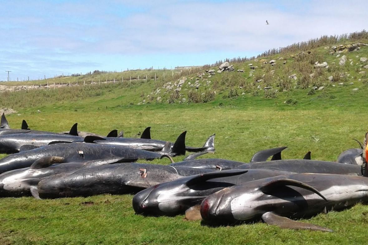 Mrtví kulohlavci na Novém Zélandu