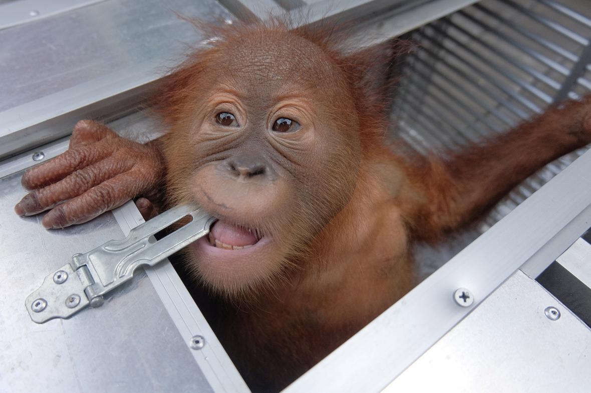 Orangutan, kterého se Rus pokusil propašovat z Bali