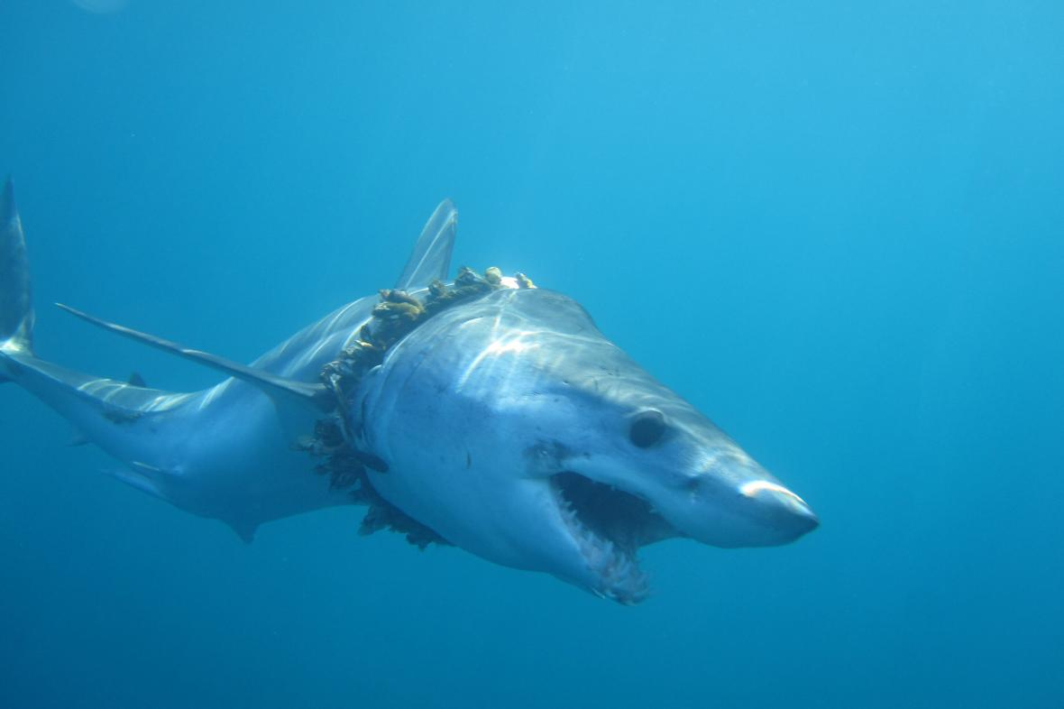 Žralok mako zapletený do lana